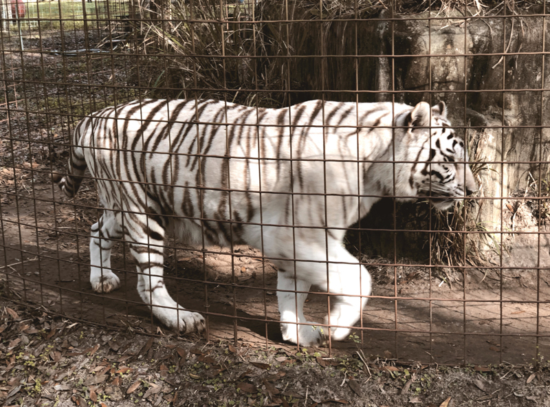 Big-Cat-Rescue_Blue-sky-in-the-wild_blue-sky-papers